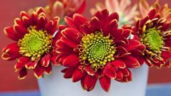 Beautiful Chrysanthemums Wallpaper 35291