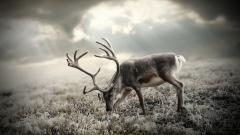 Beautiful Deer Wallpaper 16660