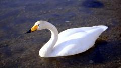 Beautiful Goose 33268