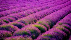 Beautiful Lavender Wallpaper 21778