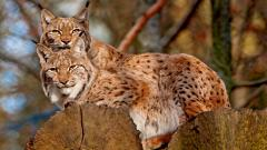 Beautiful Lynx Wallpaper 38490