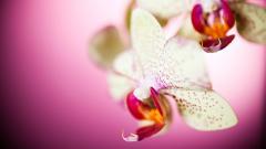Beautiful Orchid Wallpaper 24543