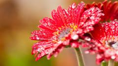 Beautiful Red Daisies 30202