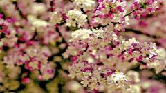Beautiful Sakura Wallpaper 43397
