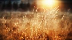 Beautiful Wheat Pictures 24068