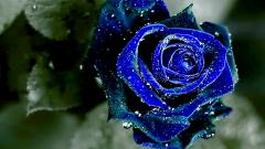 Blue Roses 29659