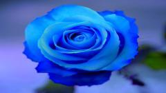 Blue Roses HD 29657