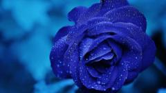 Blue Roses Wallpaper 29662