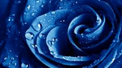 Blue Roses Wallpaper 29663