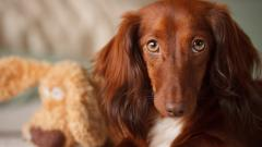 Brown Dog Close Up Wallpaper 44103