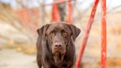 Brown Labrador Dog Wallpaper 44105