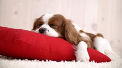 Cavalier King Charles Spaniel Wallpaper 32289