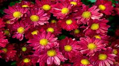 Chrysanthemums 35289