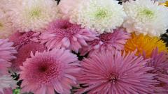 Chrysanthemums 35293