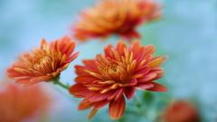 Chrysanthemums HD 35294