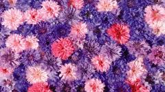 Chrysanthemums Wallpaper 35292