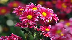 Chrysanthemums Wallpaper HD 35297