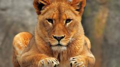 Close Up Lioness Wallpaper 40730