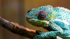 Colorful Chameleon 34526