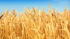 Cool Wheat Wallpaper 24055