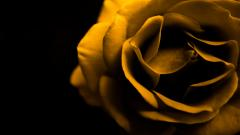Cool Yellow Roses 29681