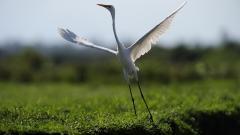Crane Bird Wallpaper 38433