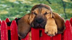 Cute Bloodhound Wallpaper 38607