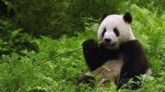 Cute Panda Wallpaper 15784