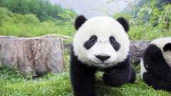 Cute Panda Wallpaper 15788