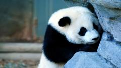 Cute Panda Wallpaper 15790