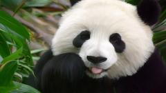 Cute Panda Wallpaper 15791