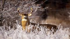 Deer Wallpaper 16653
