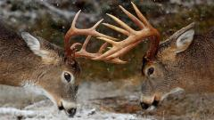 Deer Wallpaper 16655