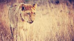 Fantastic Lioness Wallpaper 40731