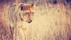 Fantastic Lioness Wallpaper 40731
