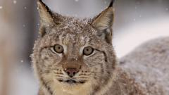 Fantastic Lynx Wallpaper 38491