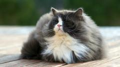 Fluffy Cat Wallpaper 44876