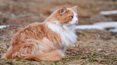 Fluffy Cat Wallpaper 44877