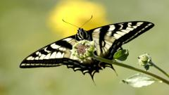Free Butterfly Wallpaper 21794