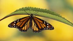 Free Butterfly Wallpaper 21796