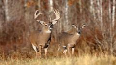 Free Deer Wallpaper 16654