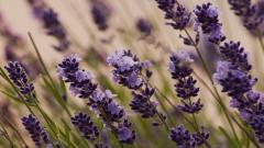 Free Lavender Wallpaper 21774