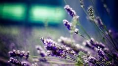 Free Lavender Wallpaper 21784