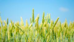 Free Wheat Wallpaper 24060