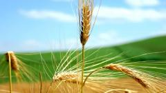 Free Wheat Wallpaper 24062