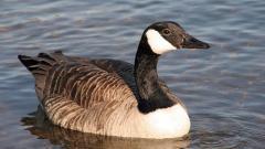 Goose 33255