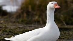 Goose 33261