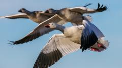 Goose Wallpaper 33252