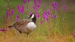 Goose Wallpaper 33269