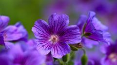 Gorgeous Purple Macro Wallpaper 38009